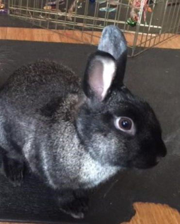 Danny the Gray Bunny