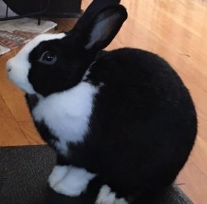 Reggie the black and white bunny, sitting