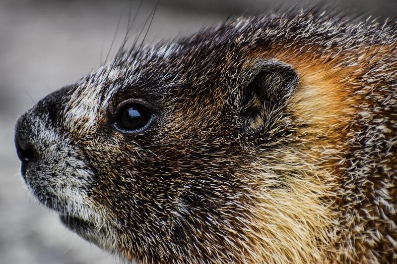 Marmot CU