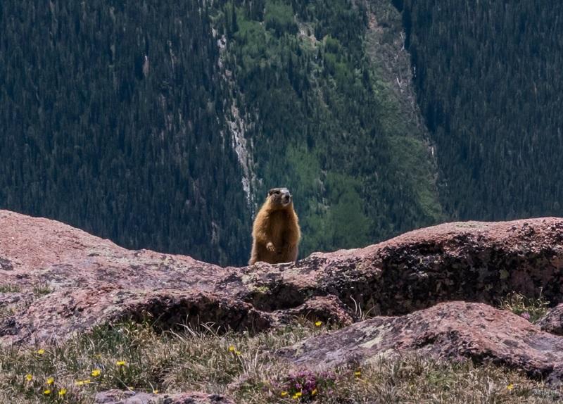 Marmot peering
